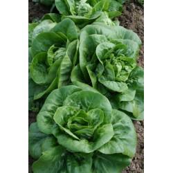 Salade sucrine, 1 p.