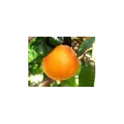 Oranges bio, 1 kg